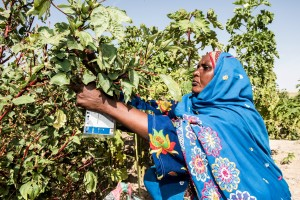 Koubra Mahamat Abakar, 44 years old, and her daughters harvest fresh fruit and vegetables in her community garden based in Kournan village, Chad. Photo by Michael Stulman/CRS